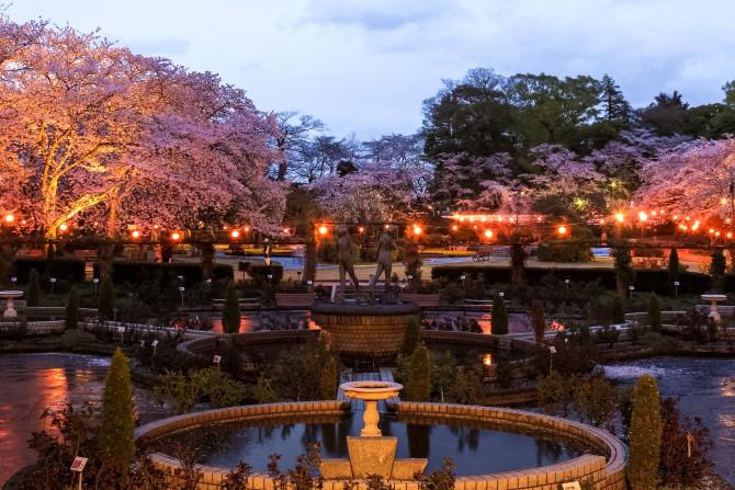 里見公園桜まつり  2015年3月28日(土)~4月12日(日)