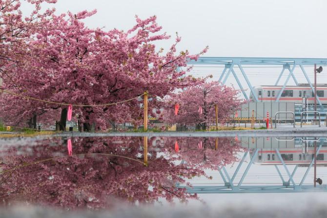 河津桜はわずかに散り始め 江戸川放水路(妙典)の河津桜並木にて