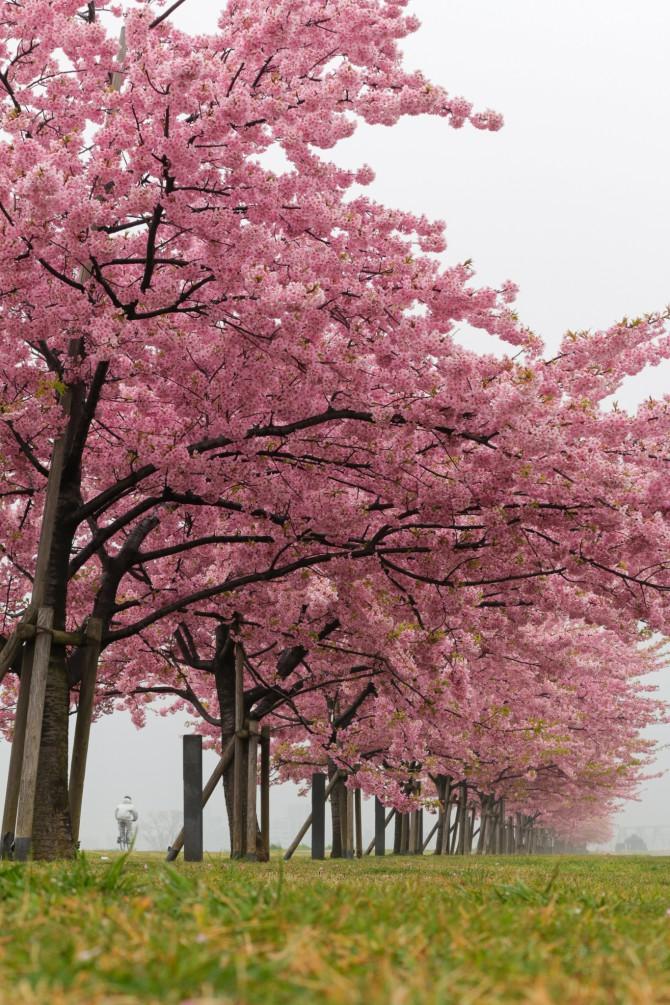 河津桜が散り始め 江戸川(市川南)の河津桜並木にて