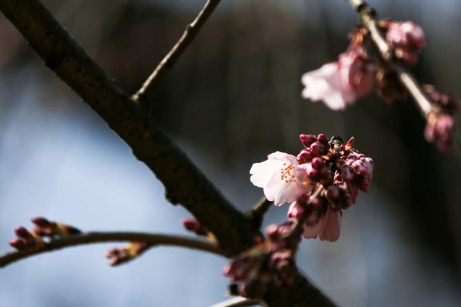 枝垂桜「伏姫桜」が咲き始めました 真間山弘法寺にて