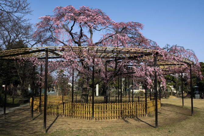 原木山妙行寺のしだれ桜が見ごろ