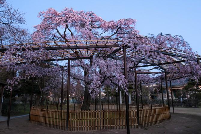 原木山妙行寺のしだれ桜が満開