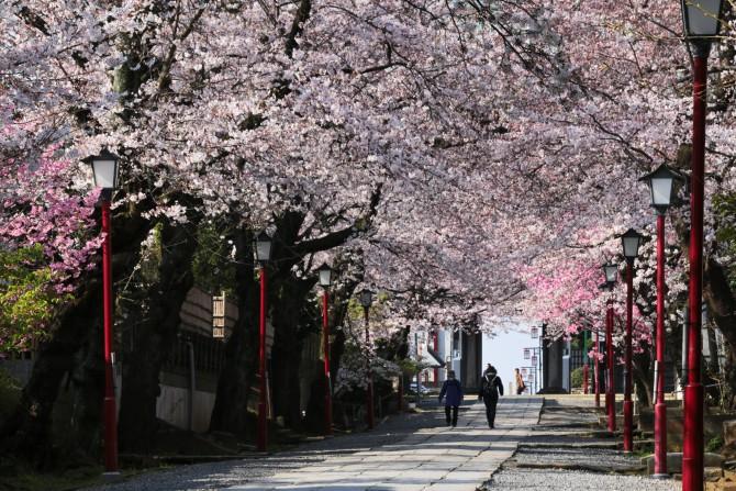 桜のトンネル  中山法華経寺にて