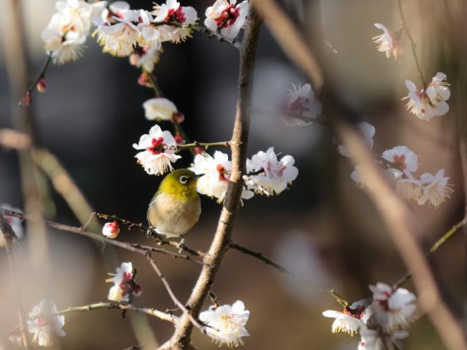 じゅん菜池緑地「梅まつり」 2015年3月8日(日)