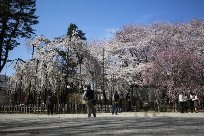 伏姫桜だけでなくソメイヨシノも見ごろに 真間山弘法寺にて