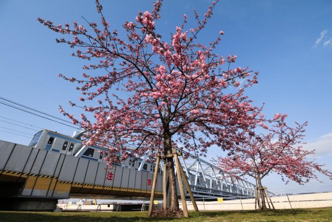 江戸川放水路(妙典)の河津桜並木の開花状況