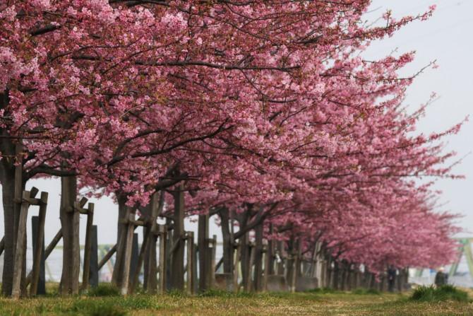 河津桜がそろそろ見ごろ 江戸川の河津桜並木(市川南)にて