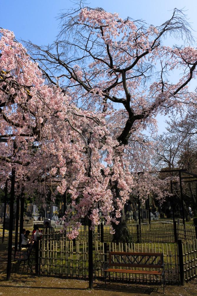 市川の桜スポット(3)「原木山妙行寺の枝垂桜」