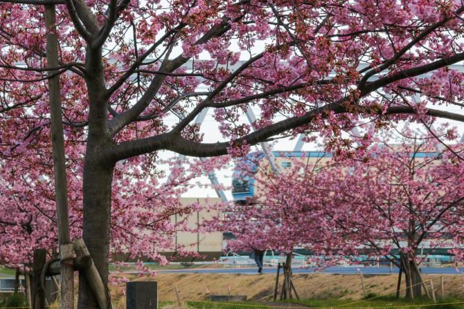 江戸川放水路(妙典)の河津桜並木もそろそろ見ごろ