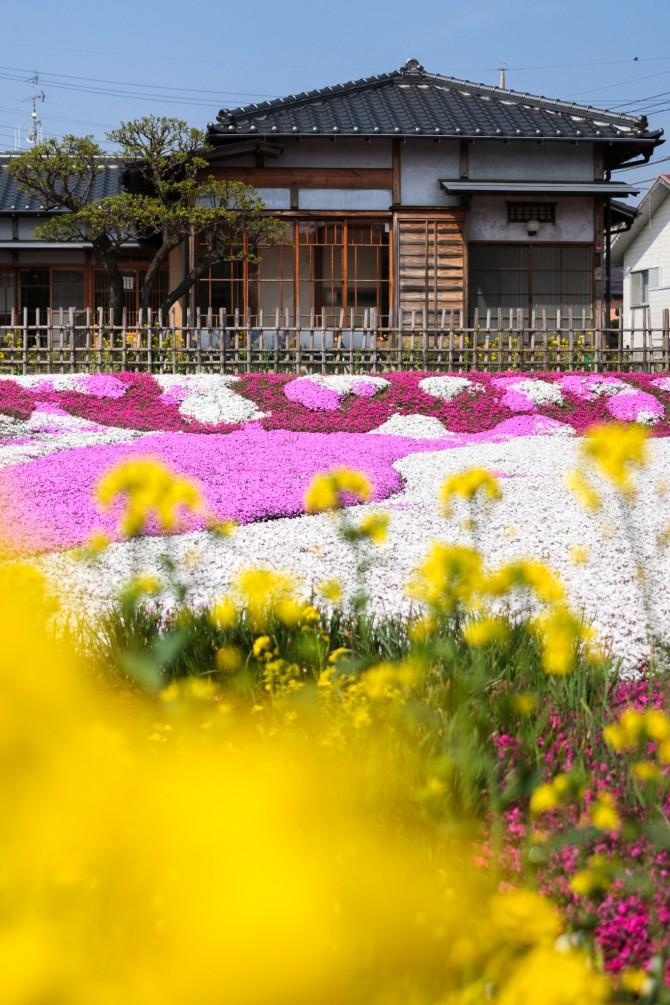 郭沫若記念館の芝桜 満開まであともう一息