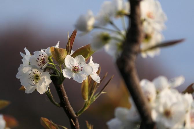 梨の花が咲き始めています。