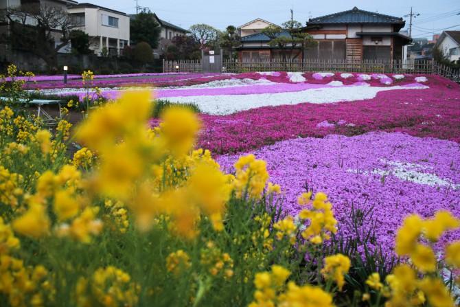 郭沫若記念館の芝桜 引き続き満開まであともう一息