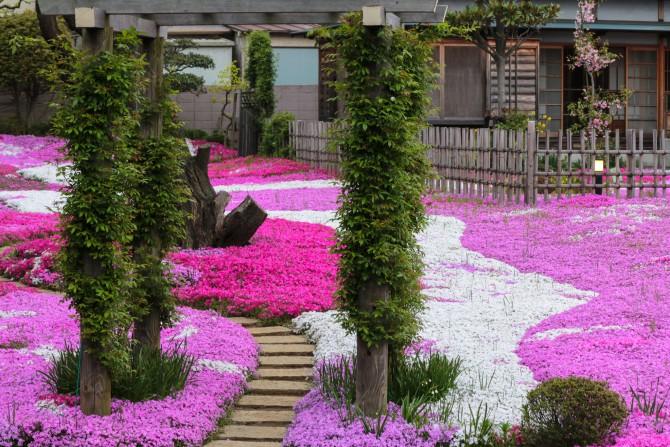 郭沫若記念館の芝桜 ほぼ満開