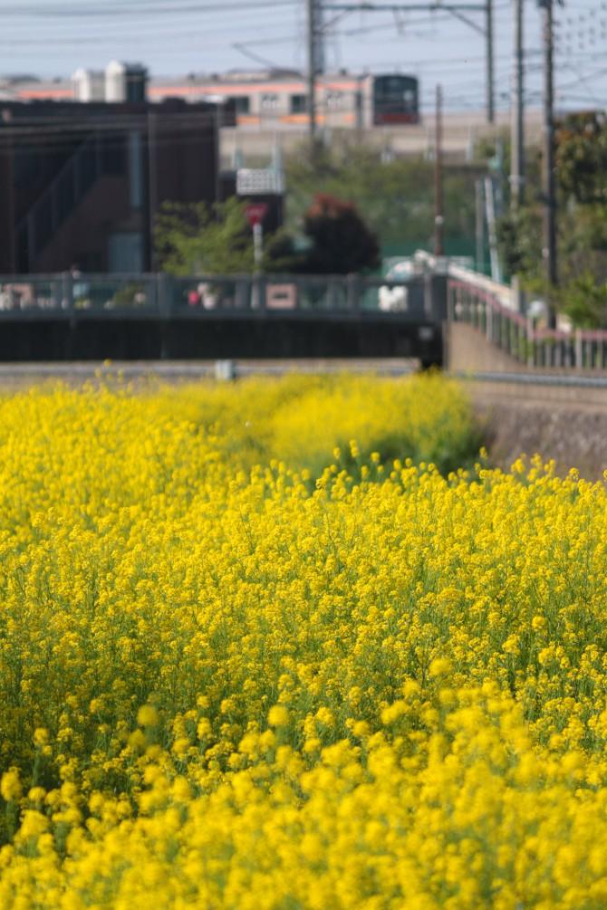 大柏川沿いの菜の花が見ごろ