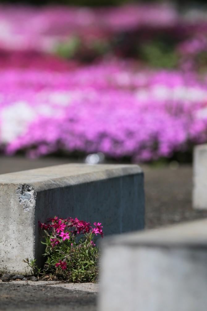 芝桜はそろそろ終わり 郭沫若記念館にて