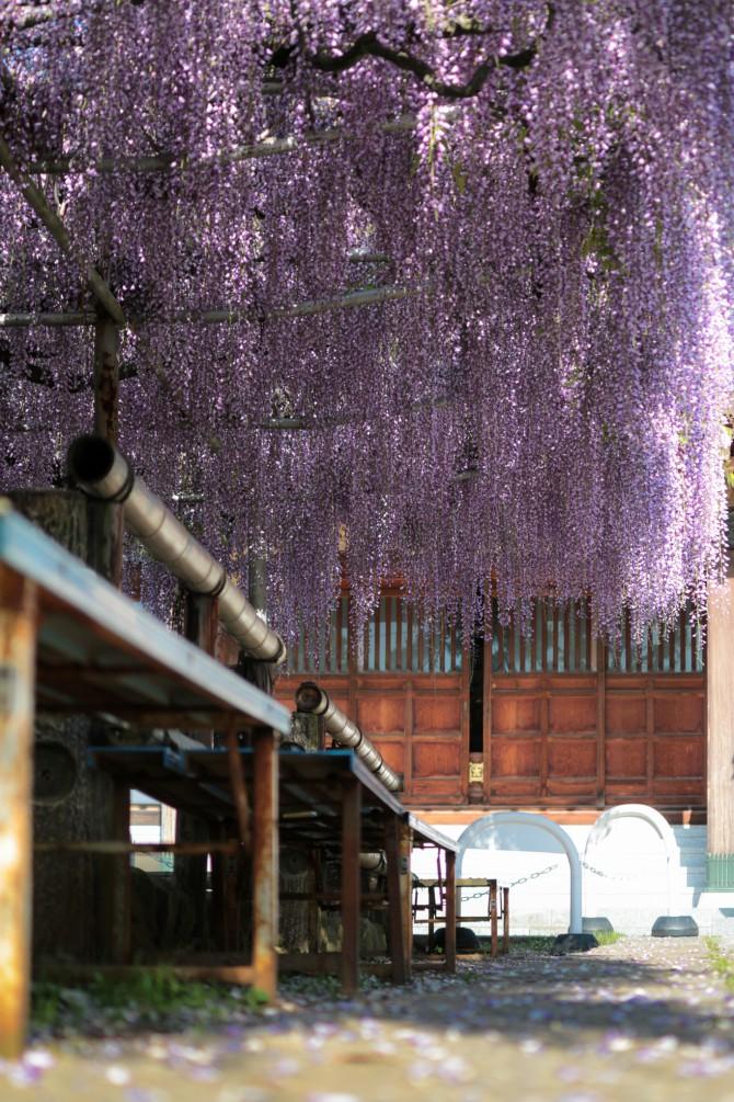 高圓寺の長寿藤が散り始め
