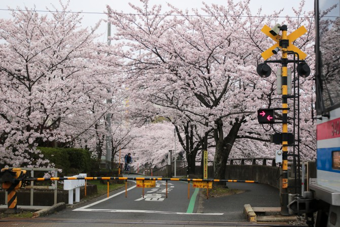 桜がいっぱいの踏み切りで