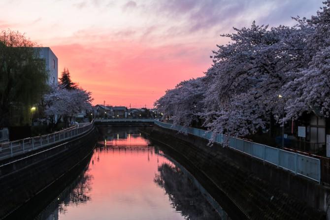 桜並木と朝焼け 手児奈橋の上より