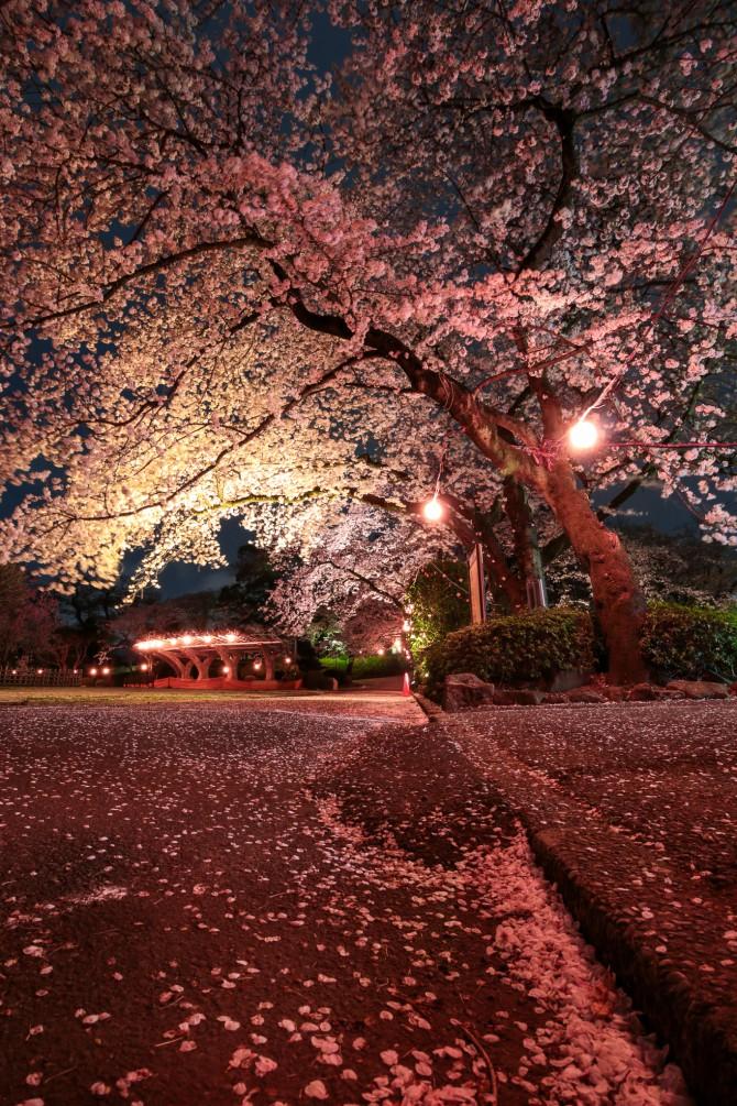 里見公園で夜桜のライトアップ