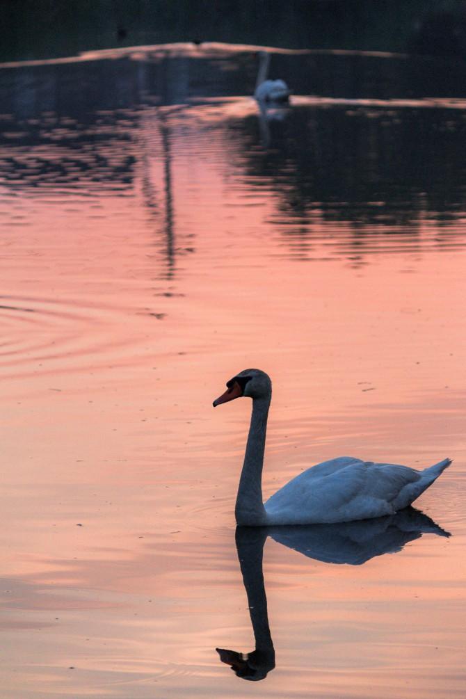 白鳥と朝焼け こざと北公園にて