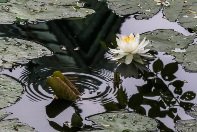 手児奈霊神堂でもスイレンが咲き始めました