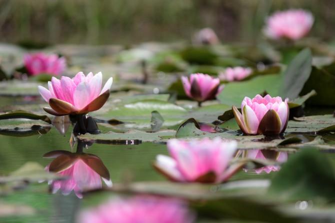 スイレンが咲き始めていました 小岩菖蒲園にて