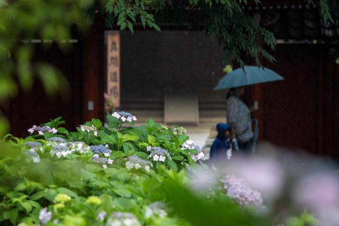 雨と紫陽花 真間山弘法寺にて