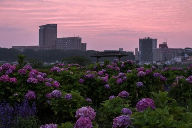 紫陽花と朝焼け
