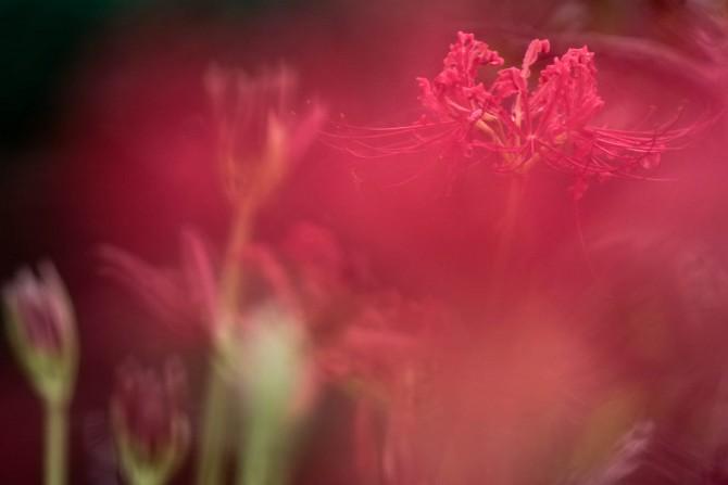 彼岸花が咲き始め 大町自然観察園にて
