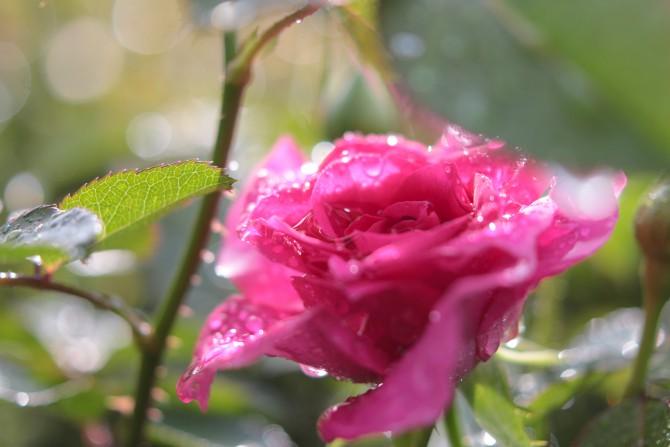 春のバラが咲きはじめ 里見公園にて