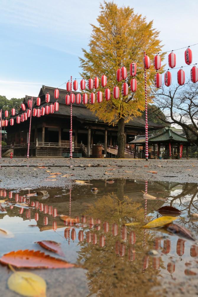 中山法華経寺祖師堂前のイチョウの黄葉が見ごろ
