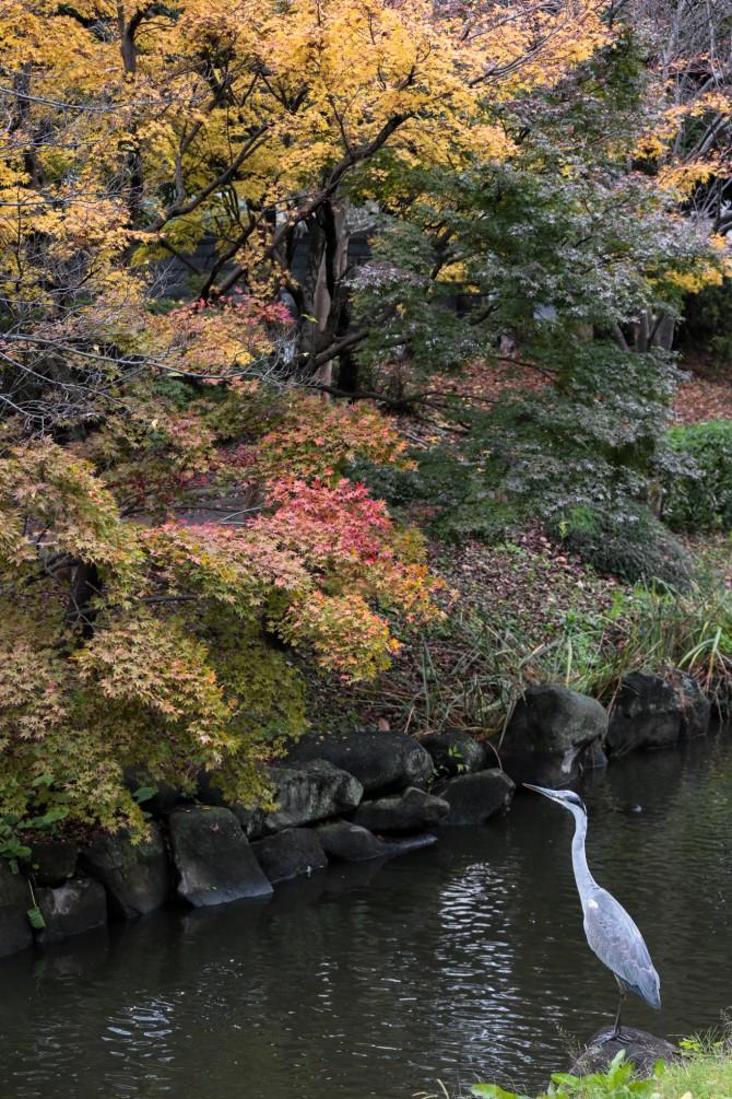 モミジの紅葉がスタート じゅん菜池緑地にて