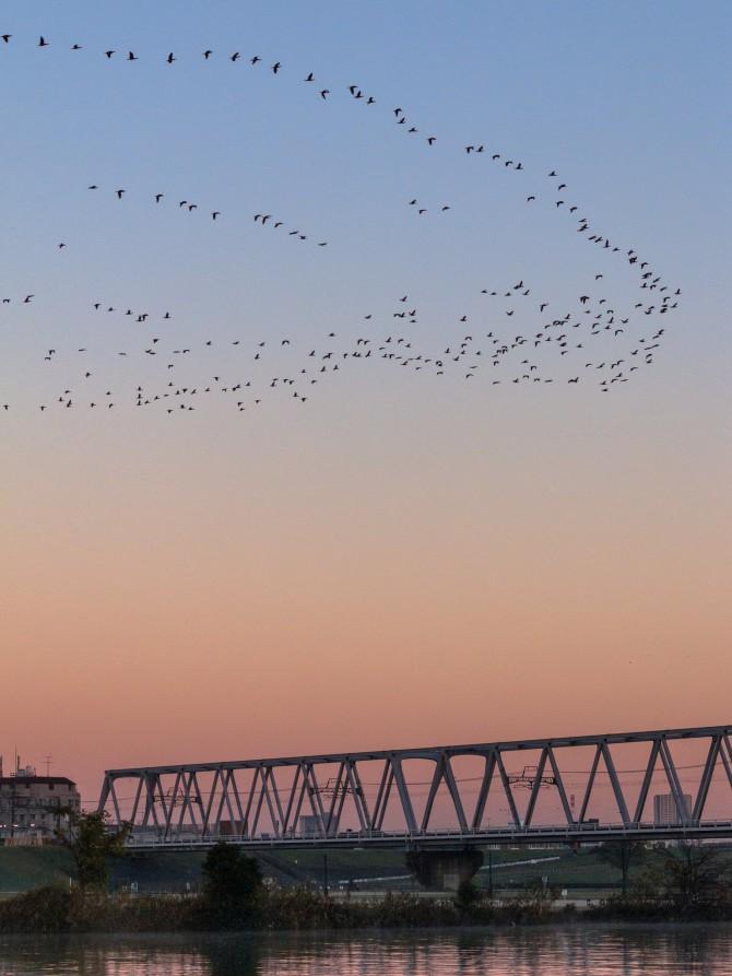 川鵜の群れと朝の空