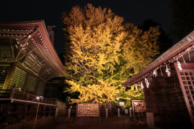 葛飾八幡宮で千本公孫樹のライトアップ 2015年12月4日(金)~6日(日)