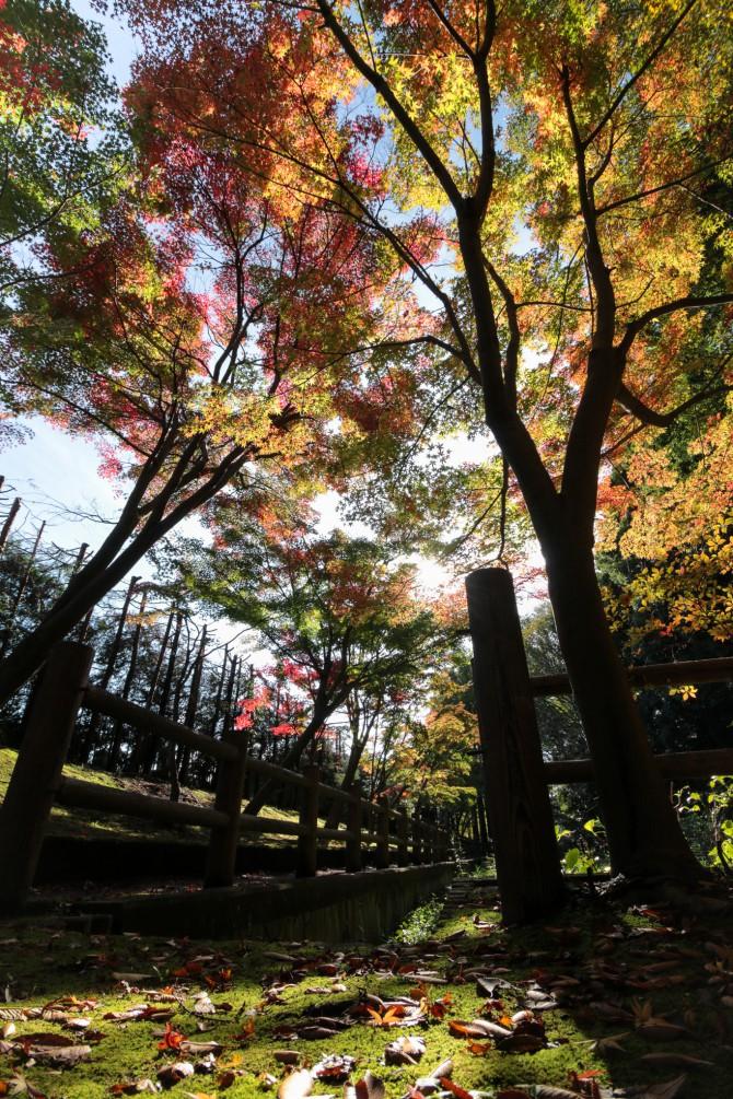 モミジの紅葉がスタート 大町自然観察園にて