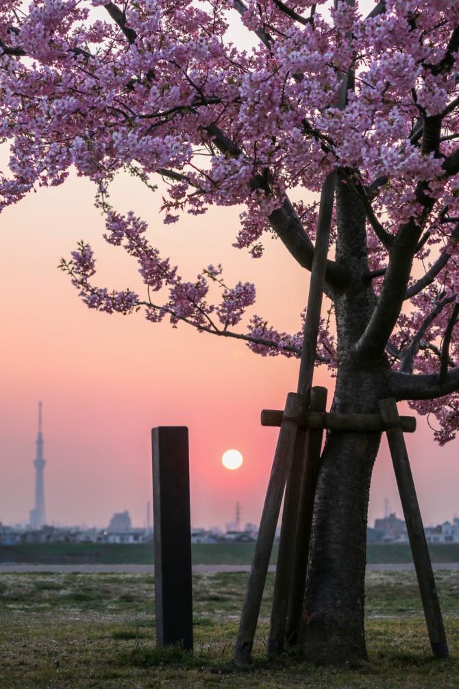 夕陽と河津桜