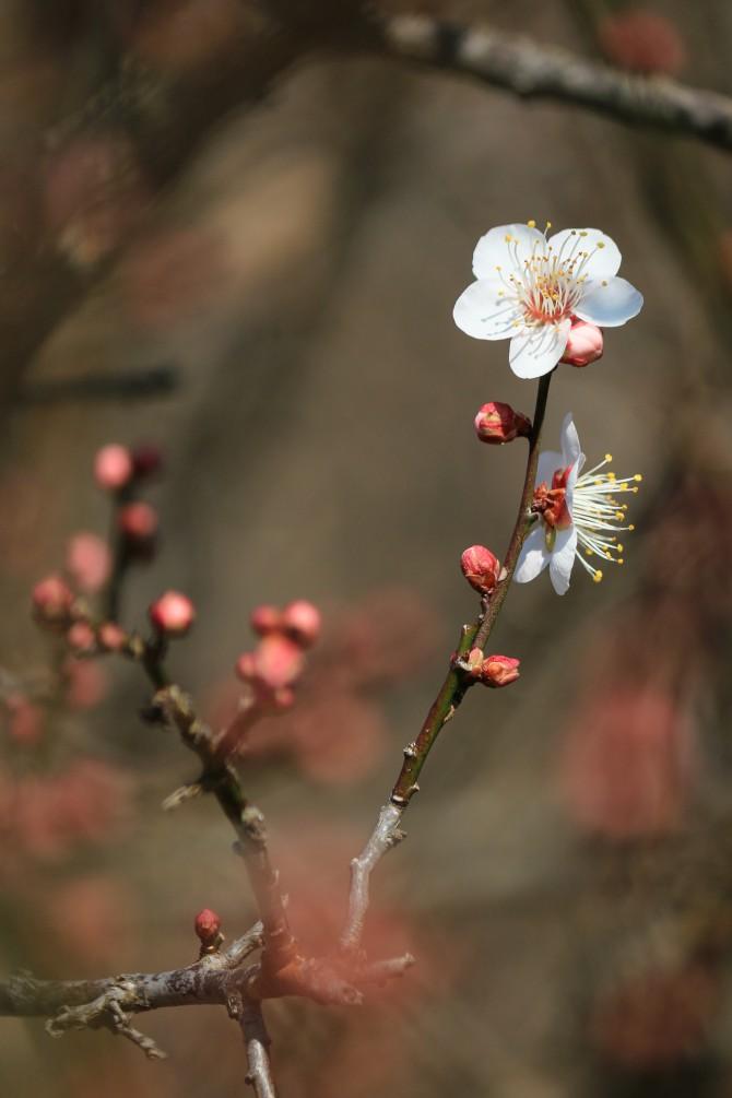 梅が咲きはじめ  じゅん菜池緑地にて