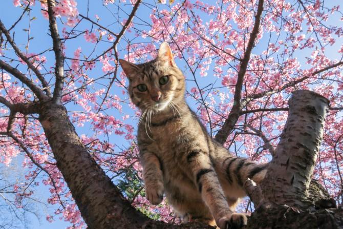 河津桜の樹の上で