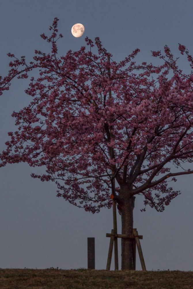 月と河津桜