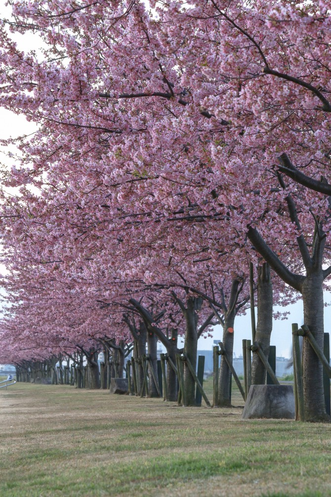 けさの江戸川の河津桜並木(市川南)