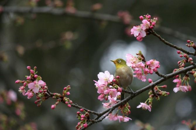 河津桜とメジロ 里見公園にて