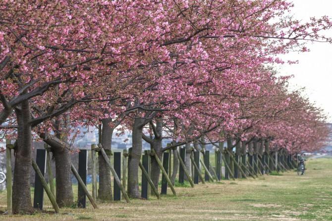 開花した河津桜が増えてきました 江戸川土手上の河津桜並木(市川南)にて