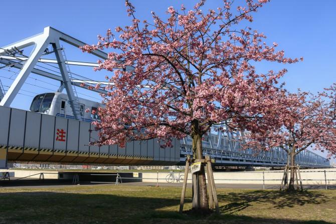 妙典の河津桜並木 3~5分咲きに