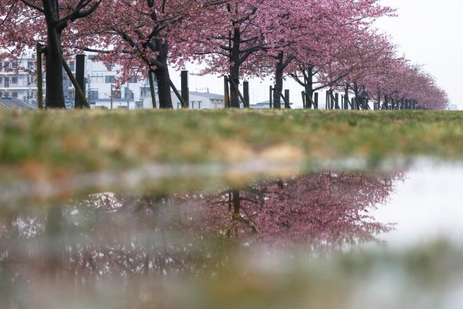 河津桜がそろそろ見ごろに 江戸川の河津桜並木(市川南)にて