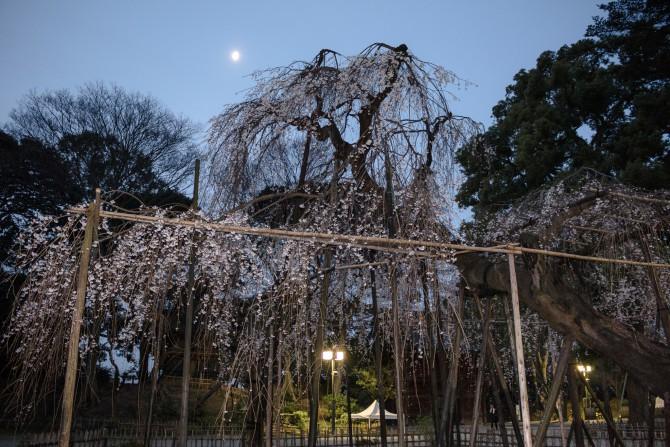 伏姫桜と小さな月