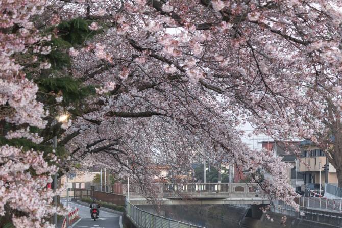 ソメイヨシノの花がだいぶ増えてきました