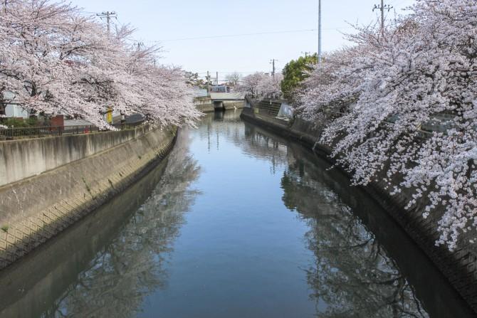市川の桜スポット(5)「真間川」