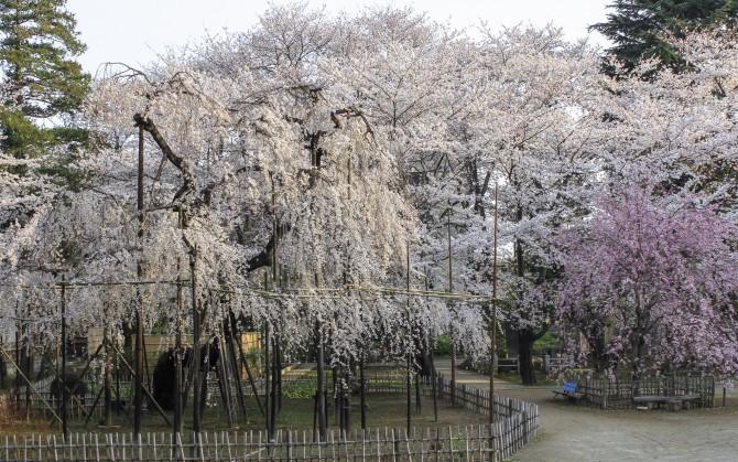 市川の桜スポット(1)「真間山弘法寺」