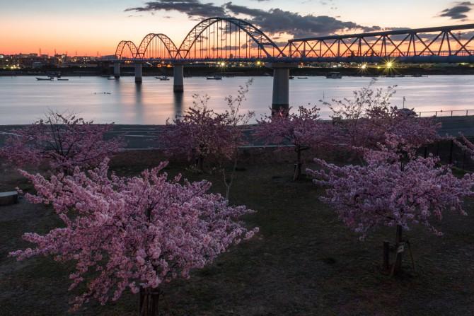 河津桜が満開に 妙典の江戸川土手上の河津桜並木にて