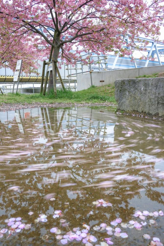 河津桜が散り始めています 妙典の江戸川土手上の河津桜並木にて